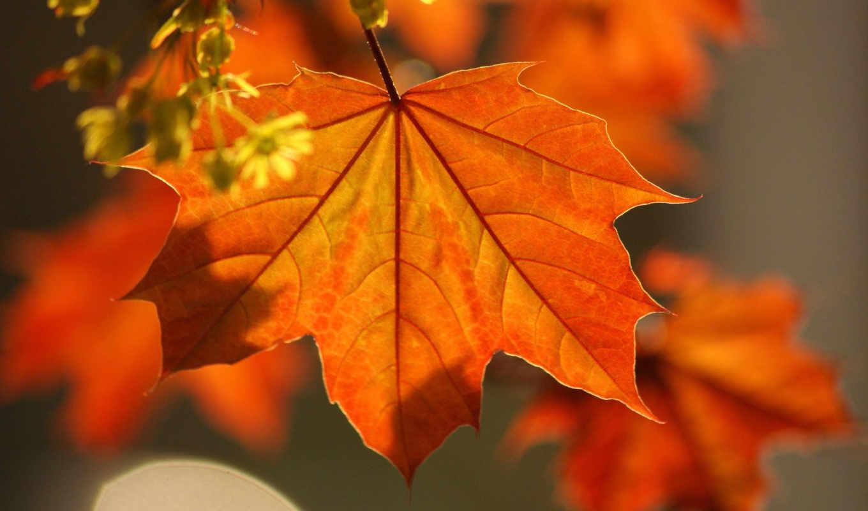 осень, клен, листья,