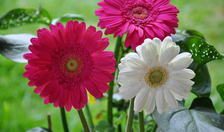 цветы, планом, крупным, герберы, розы,