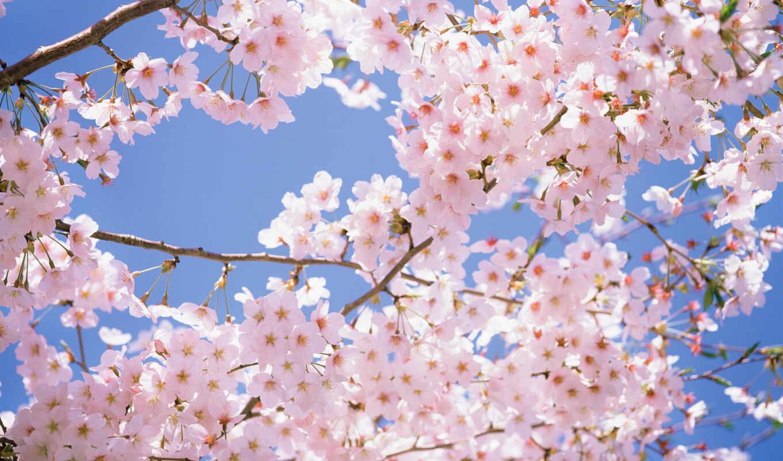 Сакура, дерево, цветы, source, деревья, cherry, цветение, ветки, картинка, сакуры,