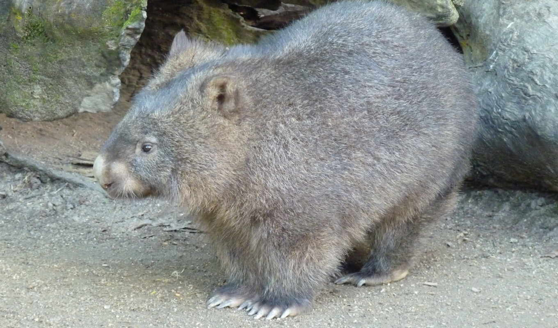 вомбат, сумчатых, семейство, wombat, прогулка, вомбаты,