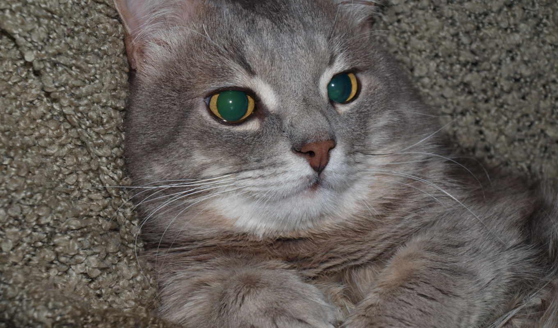 картинка, zhivotnye, кошки, mein, изображение, кун, desktop,