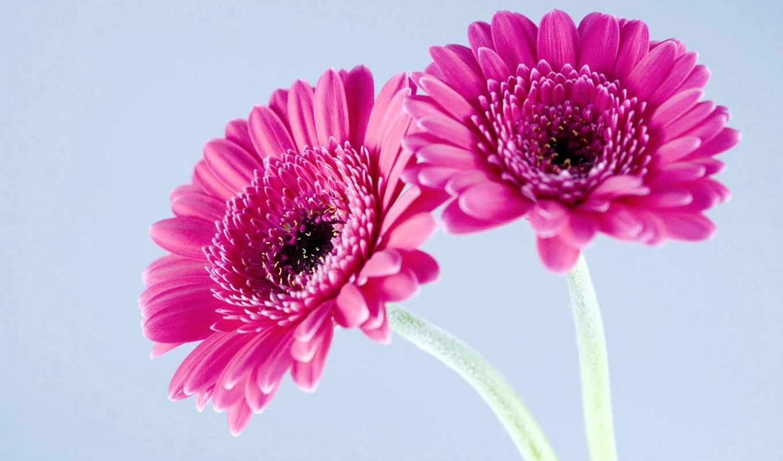 gerbera, герберы, цветы, лепестки, макро, one, click, два, высококачествен, plan, большой,