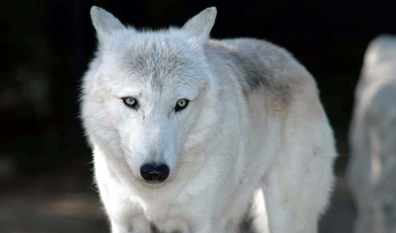волк, белый, вопрос, обои, ответ, есть, gt, волка,