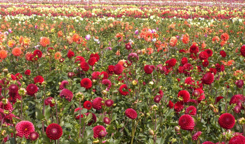 цветы, георгины, тюльпаны, поля, много, небо,
