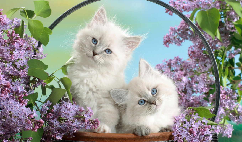 котята, кошки, пушистые,