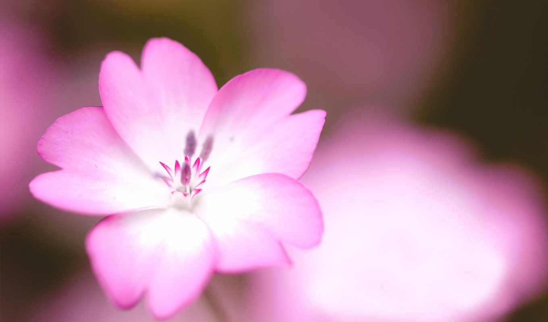 цветок, лепестки, картинка, розовый,