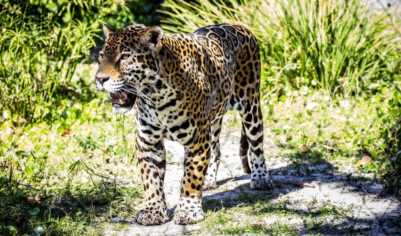 кот, wildcat, jaguar,