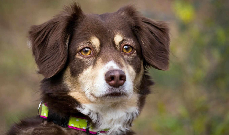 собака, animal, oban, порода, avustralya, human, хороший, миро, домашние, fotovmire