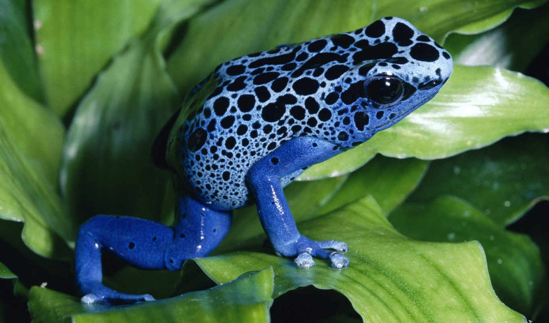 frog, blue, синяя, лист, pretty, лягуха, desktop, animals, similar, background,