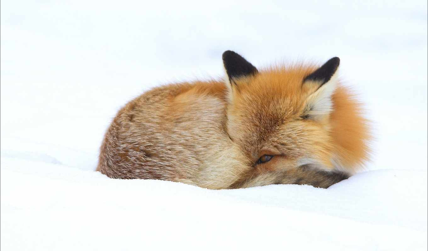 this, pins, will, animals, марта, winter, fox,