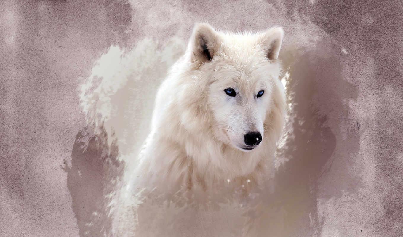 волк, white, волки, zhivotnye, свет,