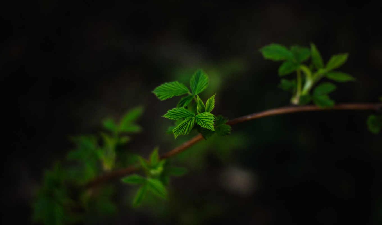 темный, makro, листья, ветка,