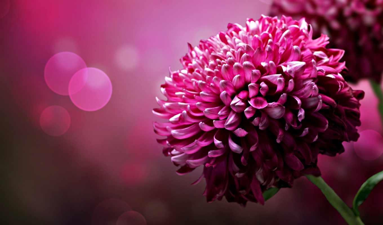 цветы, lovely, розовый, взгляд, макро,