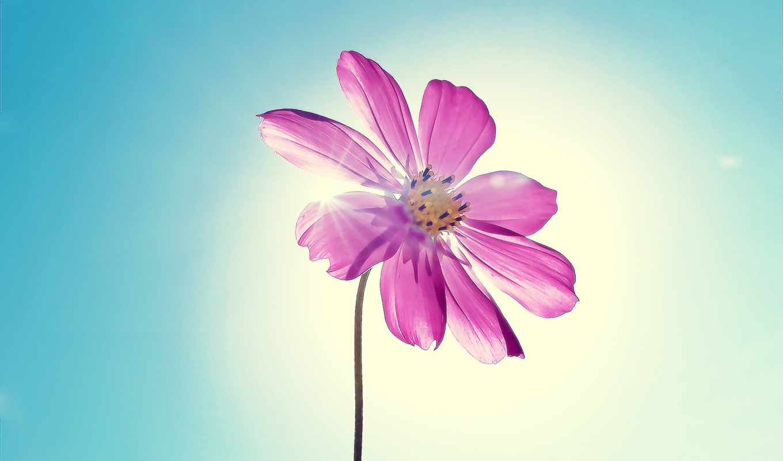 purple, цветы, flowers, desktop, magenta,