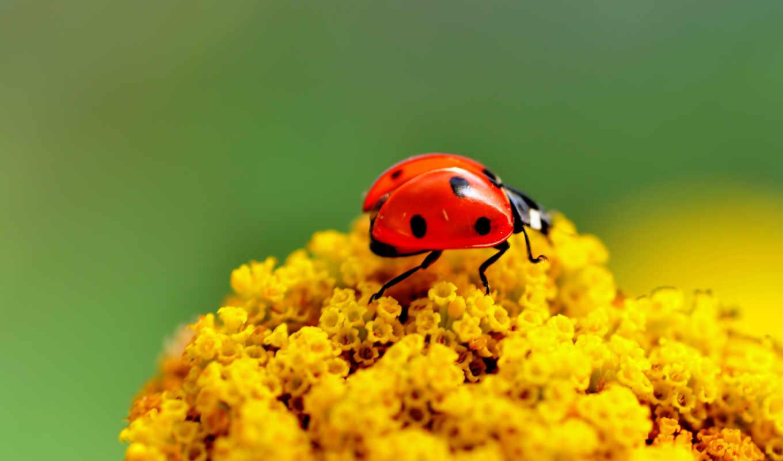 коровка, насекомое, цветы, жук, макро, ярко,