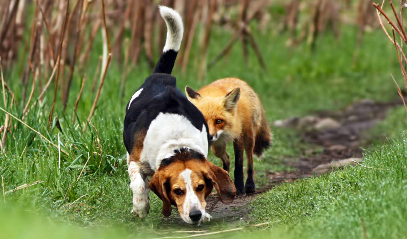 dog, fox, and, hunting, worst, to, wallpapers, beagle, evening, cute,