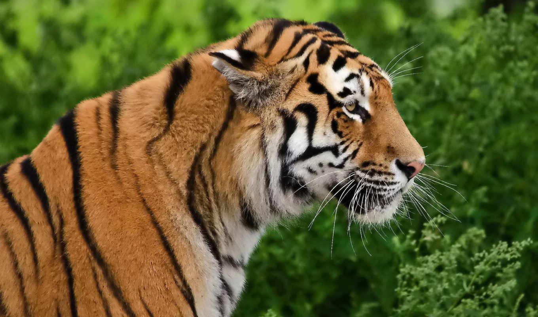 animals, просмотреть, tiger, профиль, хищник, face, морда,