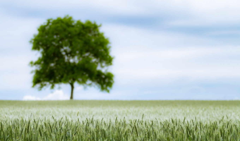 природа, поле, колосья, дерево, пейзаж, картинка, картинку,