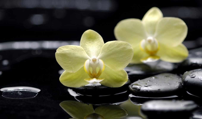 орхидеи, цветы, желтые, фаленопсис, скалы, орхидея,