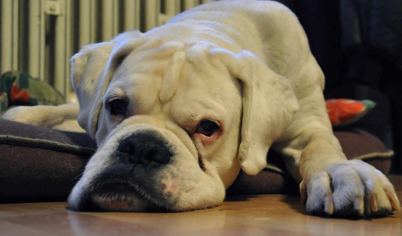 boxer, питбуль, wxga, dogs, телефон, сниматься, pitbull, щенок,
