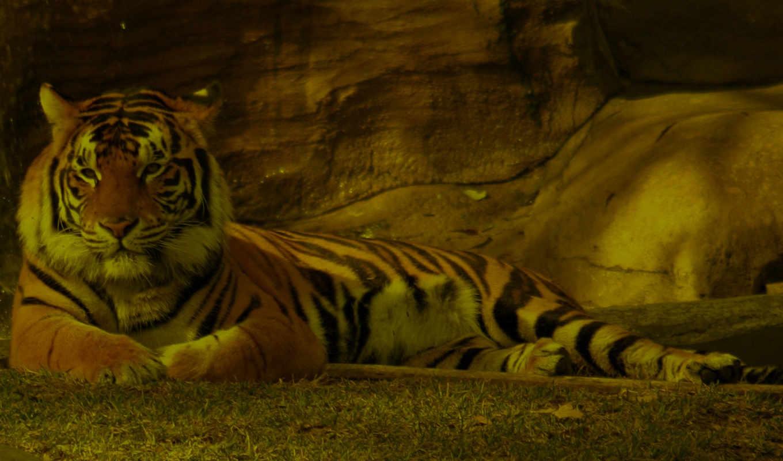 tiger, животные, тигры, природа, desktop, animal, free, картинку,