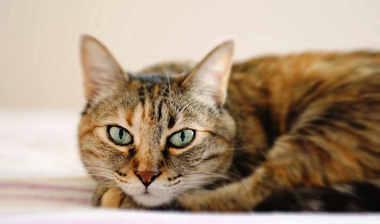 кошка, полосатый, глаза, морда, кошки, pack, best, дек,