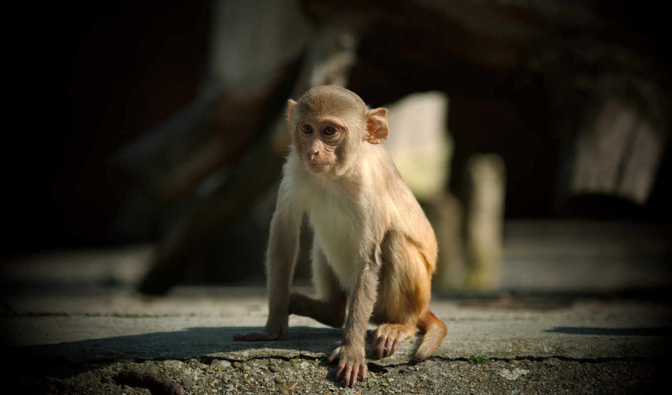monkey, animals, small, download,