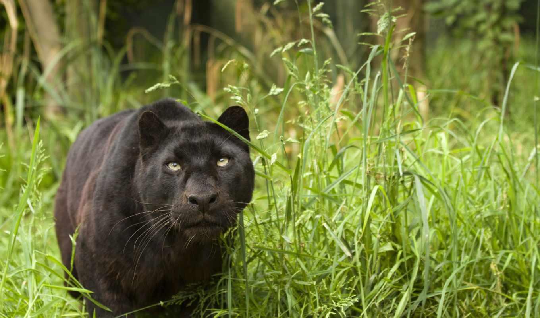 леопард, panther, stalking, пантера, кошка, чёрный, дикая, black,