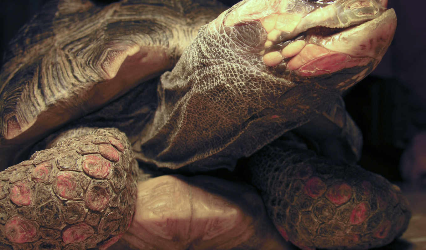 red, footed, tortoise, грн, more, like, this, stock, blue, comments,