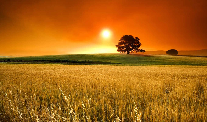 поле, пшеница, sun, колоски, пшеницы,