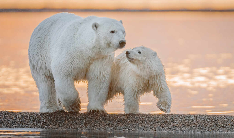 медведь, polar, детёныш, animal, тематика, животные, baby, снег, arctic, аляска