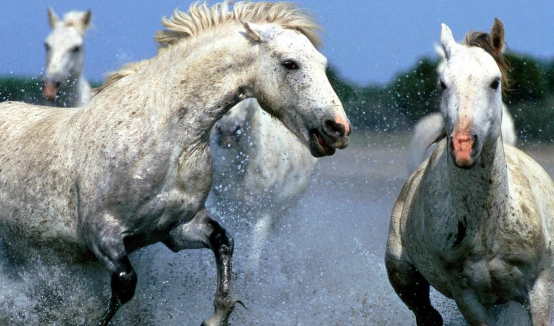 , horse, water, white, animals, running, desktop, free, wundersch