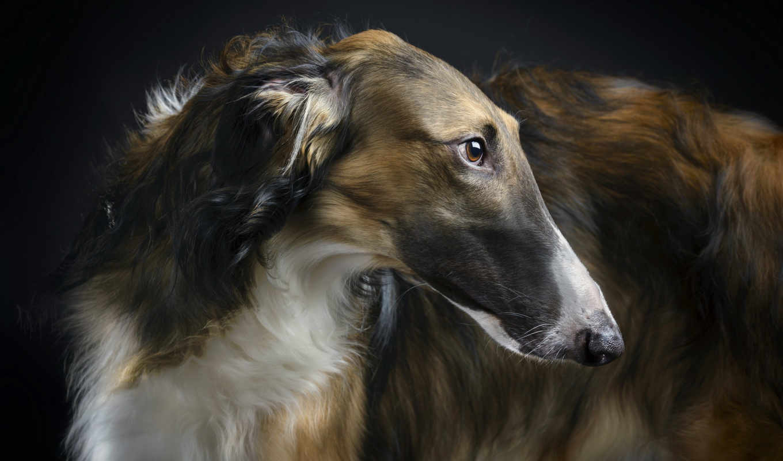 русская, собаки, порода, собак, породы, greyhound, борзые, псовая,