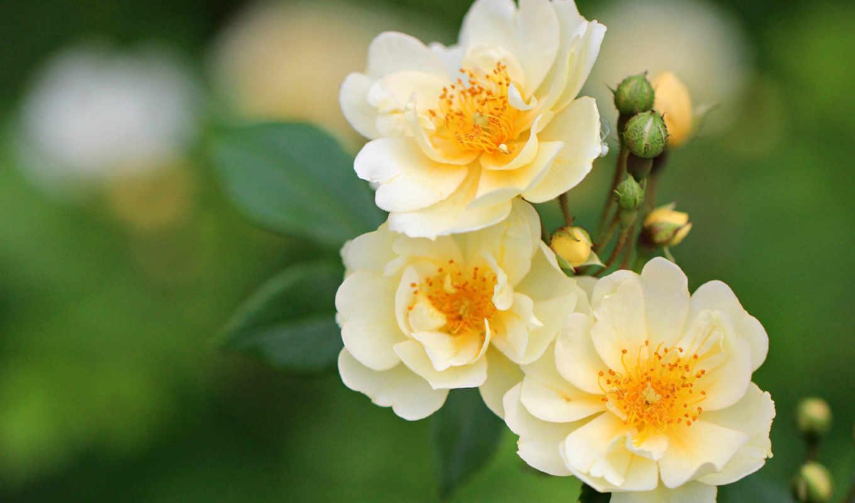 цветы, розы, красивые,