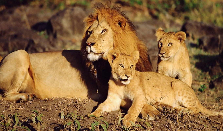 львы, семья, львів, рисунок,