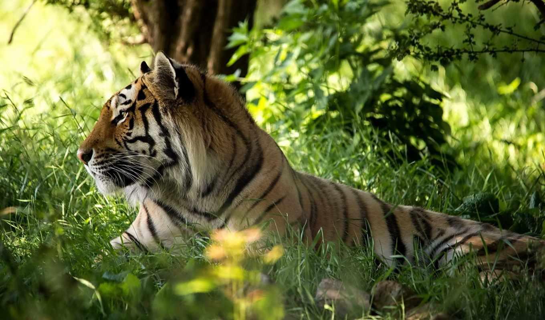 тигр, хищник, морда, трава, лес,