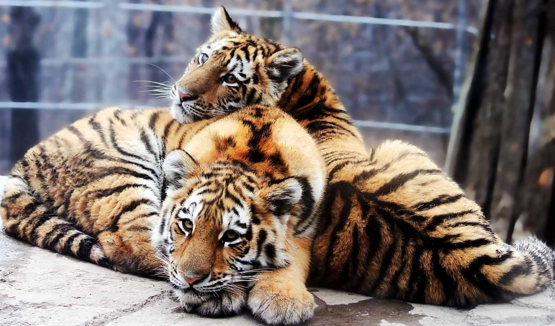 тигры, тигр, красивые, тигрята, amur, pair, большие, молодой, кошки, panthera,
