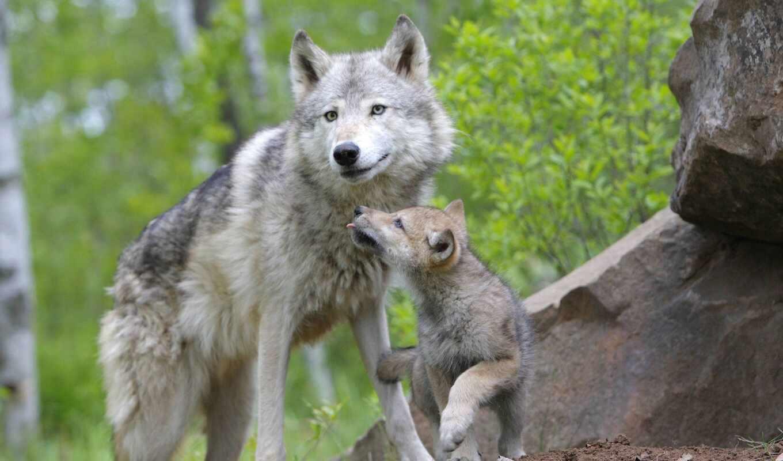 pup, волк, little, спать, семья, волчица, волков