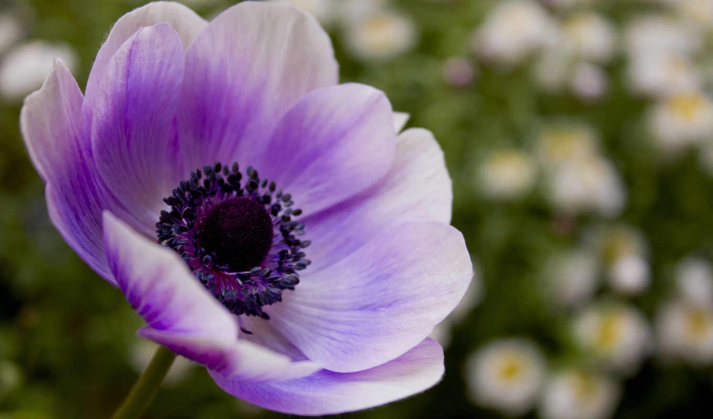 фиолетовый, цветы, сиреневый, лепестки, mac, макро,