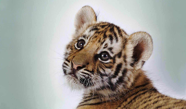 детёныш, тигр, zhivotnye,