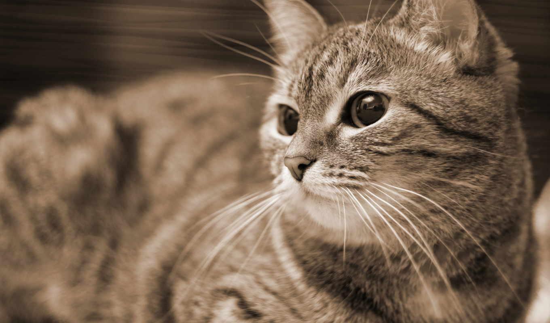 sepia, высоком, кот, качестве, котэ,