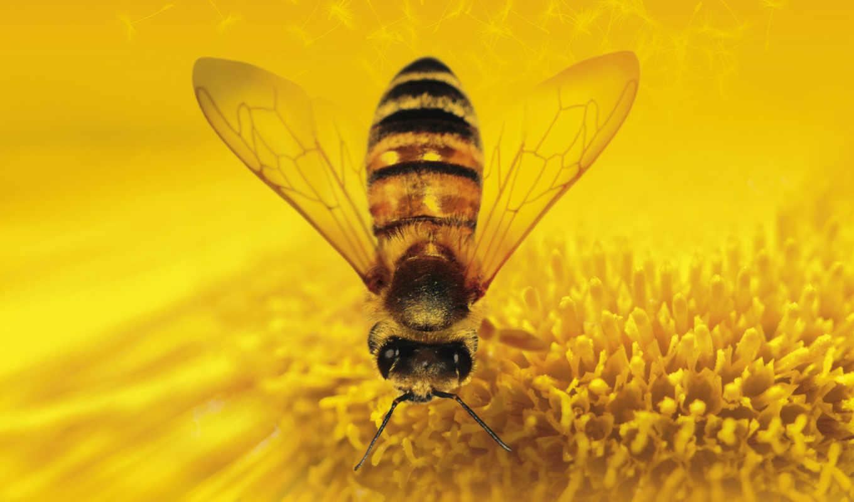 мед, пчелка, насекомые, качестве, нас, хорошем, фильмы, камни,