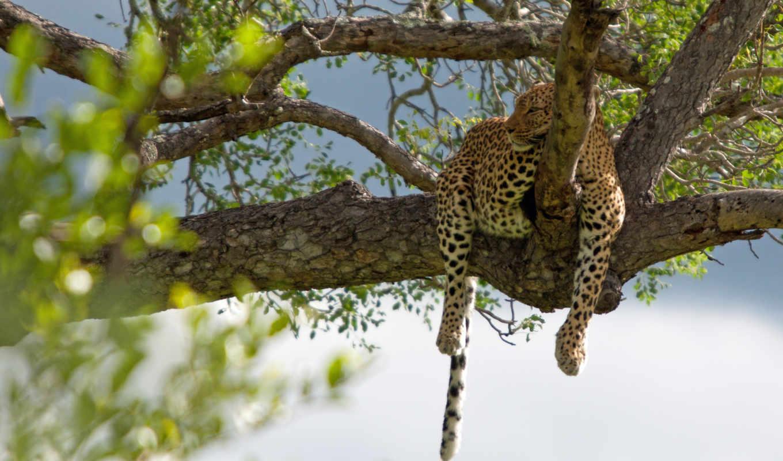 леопард, cats, mobile, кот, desktop,