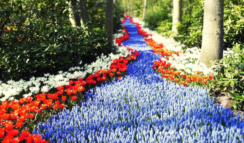 цветы, тюльпаны, sun, голандия, тропинка, дорога,