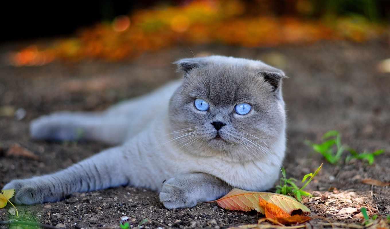 глазами, голубыми, кот, свет, британец, лежит, вислоухий, желтые,