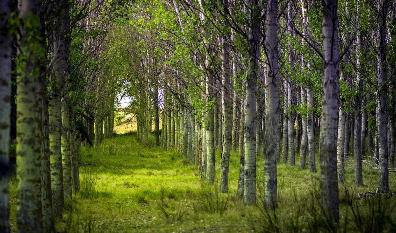 лес, природа, лето, деревья,