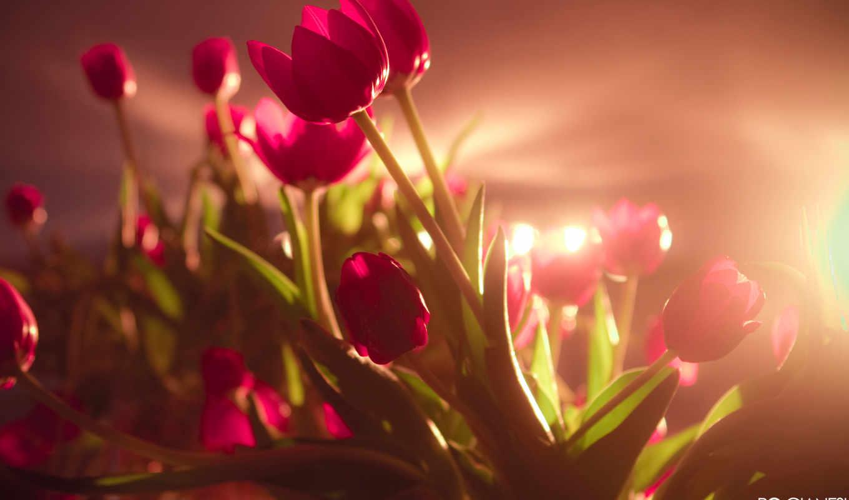 tulipanes, pantalla, flores, fondos, fondo, rojo, rojos, tulipán, vibrantes, fotos,