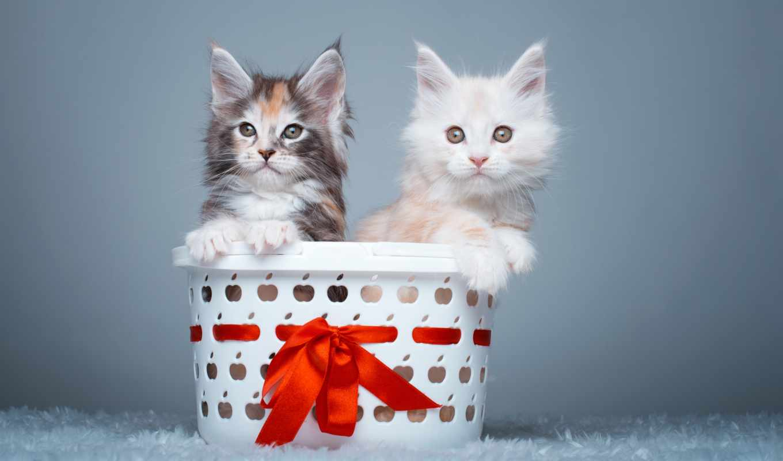 cute, kittens, котенок, cats, animals, мэн, кун,