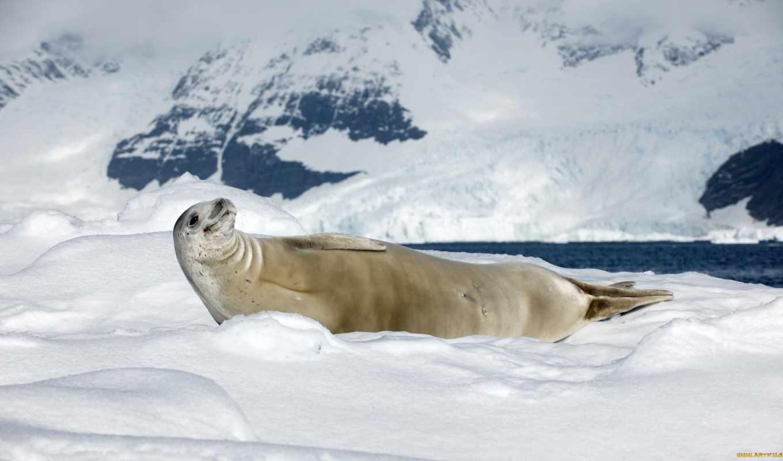 zhivotnye, севера, снег, тюлень, крабоед, природа, детей, sunny, день, north,