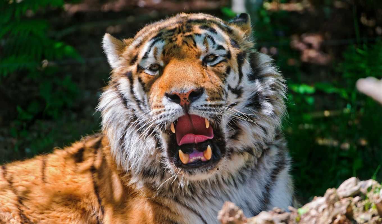 картинку, картинка, животные, кошка, отдых, хищник, тигр, амурский, тень, выберите, кнопкой, правой, мыши, зевает,